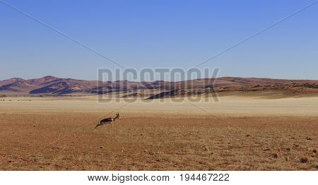 Springbok at African savanna landscape. Namibia South of Africa.