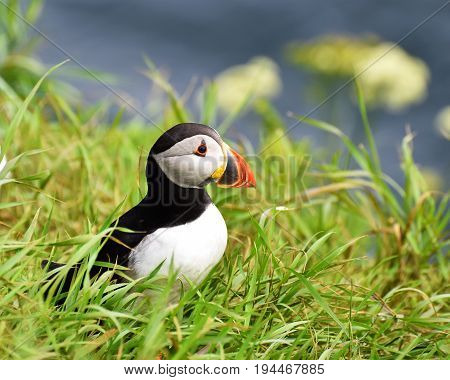 Puffin on a grass bank with flowers and sea behind