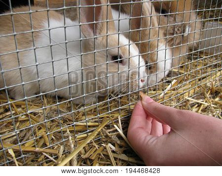 Feeding rabbits in cage with feed from hand