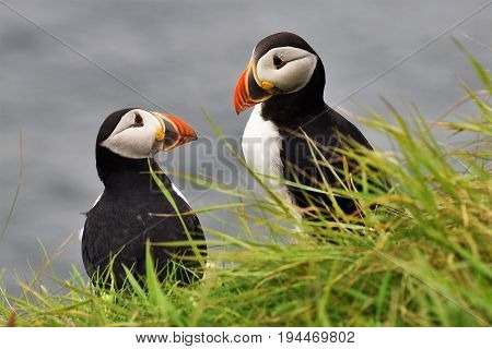 Pair of Puffins on cliff edge with sea behind