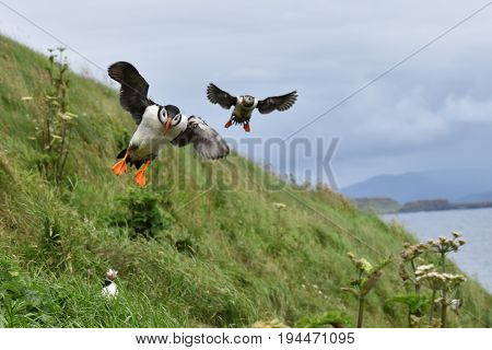 Two Puffins coming into land on grass bank
