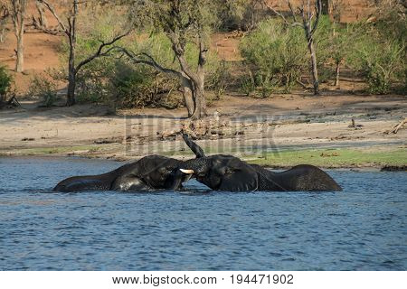 Elephants playing in the river in Chobe National Park