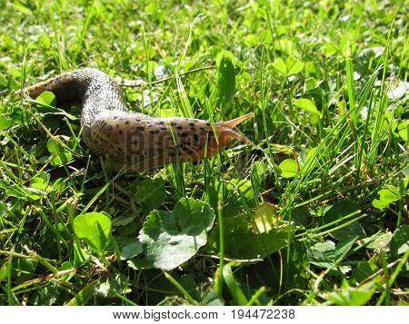 Leopard slug or great grey slug in summer