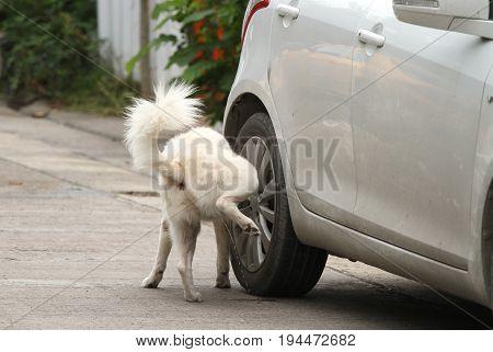 White dog peeing on a car wheel