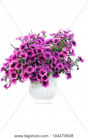 Isolated flowers in pot. Pink summer flowes in white pot. Isolated on white.
