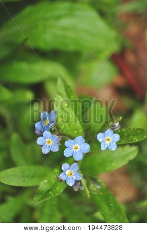 Forget-me-not flowers with rain drops and dew closeup