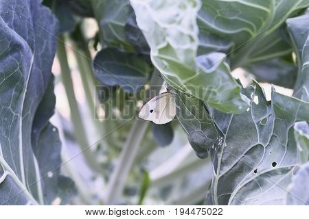 Cabbage White Butterfly laying eggs on the leaves of a brussel sprout plant. Plant already has damage due to the moth's caterpillar who eats members of the Brassicaceae family. Extreme shallow depth of field with selective focus on Moth.