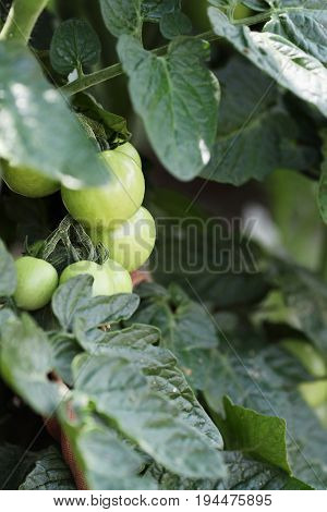 Green organic Cherry tomatoes growing on the vine. Extreme shallow depth of field with selective focus.