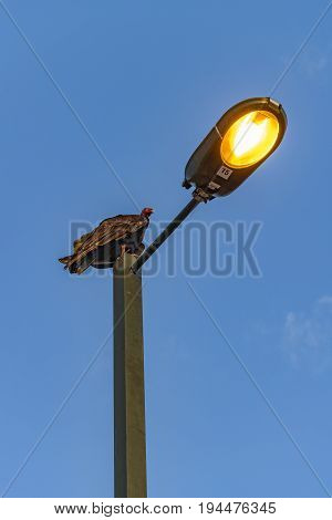 Low angle view of black scavenger at top of street light in Guayaquil outskirt Ecuador