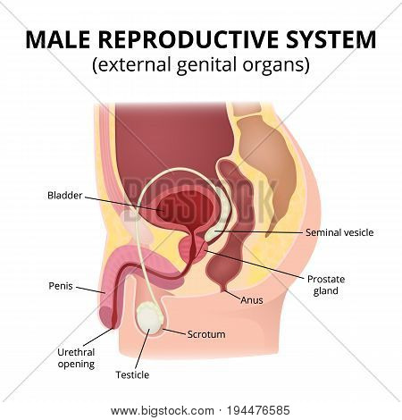 Anatomy of male organs, the structure of the genitalia in the section.