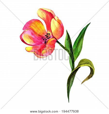Wildflower tulip flower in a watercolor style isolated. Full name of the plant: tulip. Aquarelle wild flower for background, texture, wrapper pattern, frame or border.