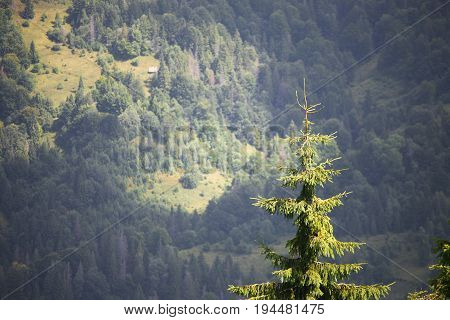 Pine tree forest from above. Focus on single treetop. Evergreen forest in sun light, background