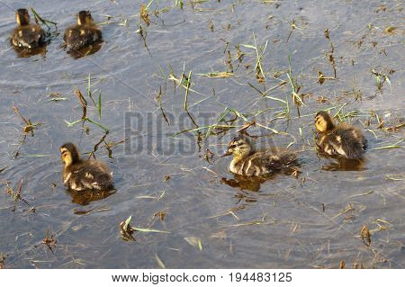 water ducks pound swamp baby animals natural environment