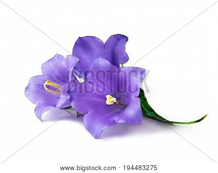 Three blue bell flowers isolated. Beautiful violet bell flowers on white background.