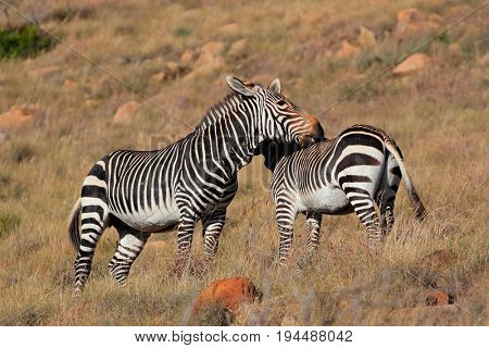 Cape mountain zebras (Equus zebra) in natural habitat, Mountain Zebra National Park, South Africa