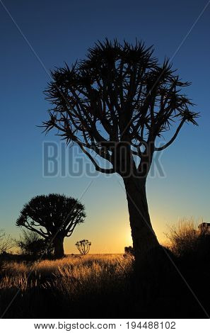 Silhouette of quiver trees (Aloe dichotoma) at sunrise, Namibia, southern Africa