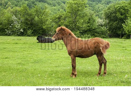 Young bay colt horse on countryside green grass meadow