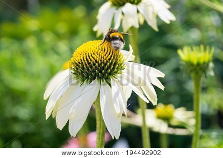 Close-up of a Bumblebee on a white Flower. View on a beautiful white Flower in Sunlight, Blooming Flowers in Summer. The Chamomile Flower is a medical Plant.