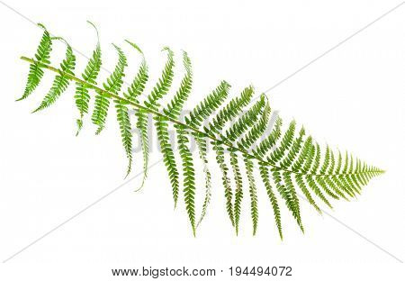 Leaf fern isolated on white background.