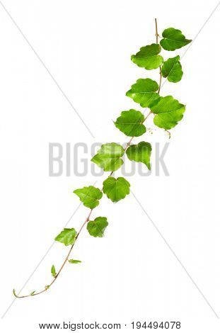 Branch of a climbing plant isolated on a white background