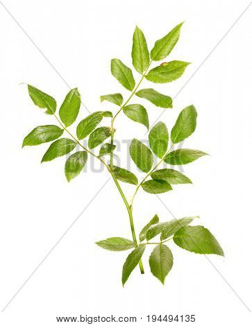 Branch of a dogrose isolated on a white background