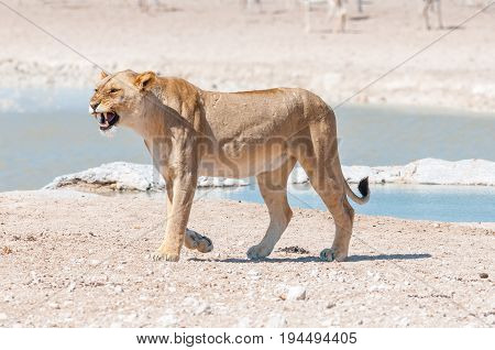 An african lioness Panthera leo showing her teeth at a waterhole