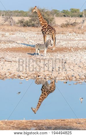 A Namibian giraffe Giraffa camelopardalis angolensis and a Burchells zebra Equus quagga burchellii with reflections in water