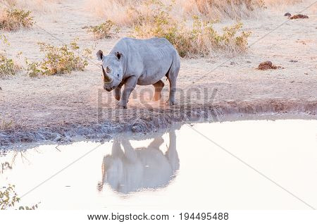 An endangered black rhino Diceros bicornis at a waterhole in Namibia at sunset
