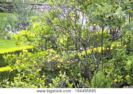 Mandarin Tree Full Of Mandarins In The North Of Spain