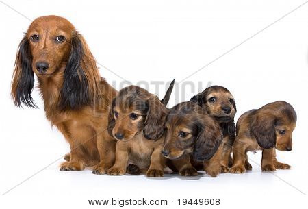 mother dogs and puppies breed dachshund