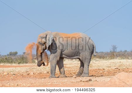 An African elephant Loxodonta africana covering itself with red sand to protect against insects in Northern Namibia
