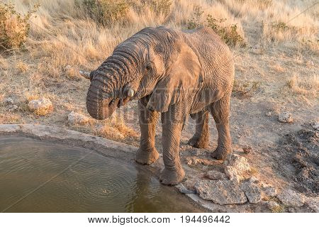 An endangered African Elephant Loxodonta africana at a waterhole in Namibia at sunset