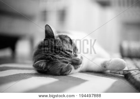 Home Carpet With Cat Lying On It