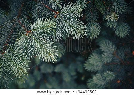 Fir tree brunch close up. Shallow focus. Fluffy fir tree brunch close up. Christmas wallpaper concept. Copy space.