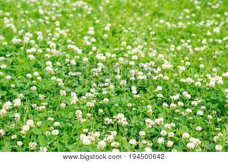 Beautiful floral background of blooming dasies and green grass