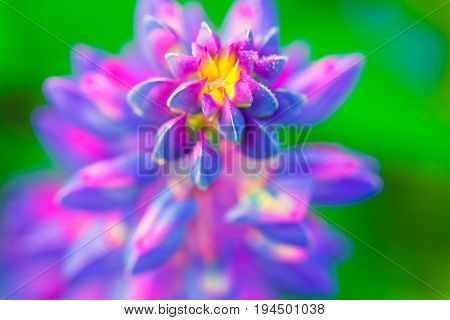 Purple flower lupine macro close up. Blooming lupine flowers in meadow. Bright and saturated soft colors blurred background.