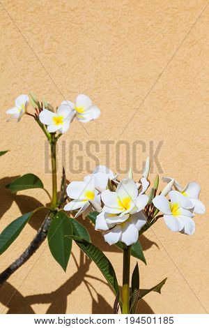 Ficus Flowers Near Yellow Wall In Sunny Summer Day
