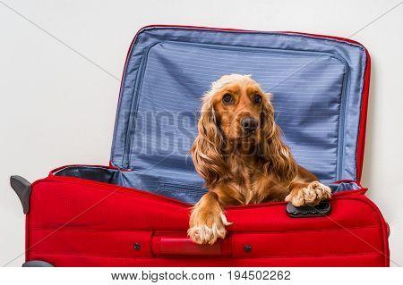 Cocker Spaniel Dog In Suitcase