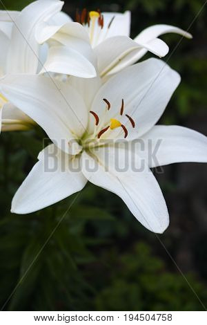 White lilium plant summer blossom in the garden, сoncept of loss, sickness, sadness, funeral