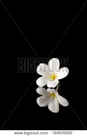 Frangipani Flower On A Black Reflective Background