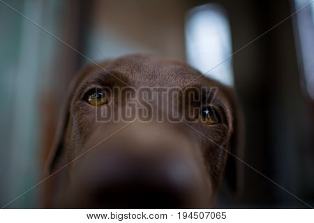 labrador retriever looking like use the eye appeal to his owner.- Selective focus on eye dog. vintage color style