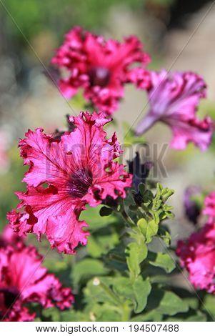 Purple petunia in a garden in summer time