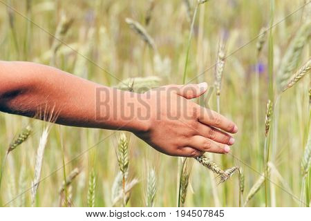 Close up of kid's hand touching ripening wheat ears in early summer.