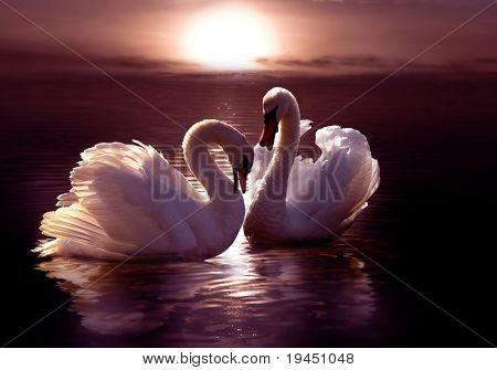 loving swans forming a heart