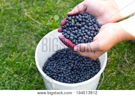 Fresh Blueberries In Woman's Hands After Collecting In The Woods
