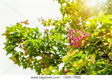 Red young leaves of Maple Liquidambar formosana Chinese sweet gum or Formosan gum on tree with sunlight are blossoming in spring background Thailand