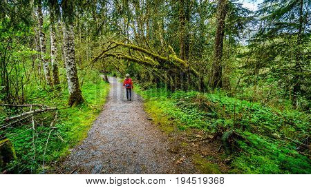 Woman hiking through the temperate rain forest of Kanaka Creek Regional Park near the town of Maple Ridge in British Columbia, Canada