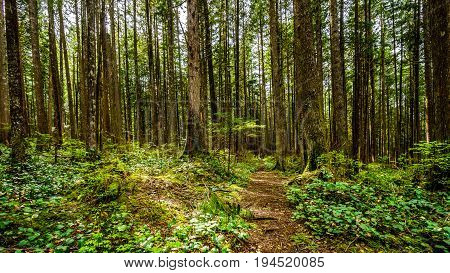 Trees in the temperate rain forest of Rolley Lake Provincial Park near the town of Mission in British Columbia, Canada