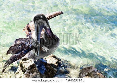 preening pelican resting on ocean rocks by the sea