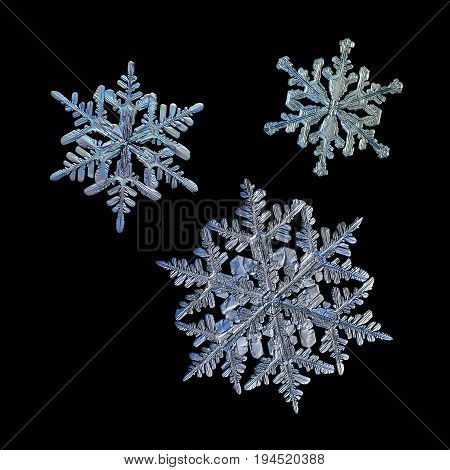 Three snowflakes isolated on black background. Macro photo of real snow crystals: stellar dendrites with complex, elegant shapes with hexagonal symmetry, long ornate arms with side branches.